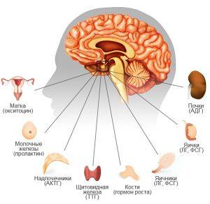 Эндокринные железы первыми страдают от нарушения гормонального фона у женщин
