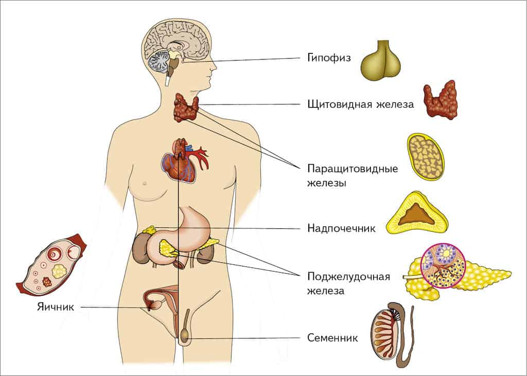эндокринные железы человека