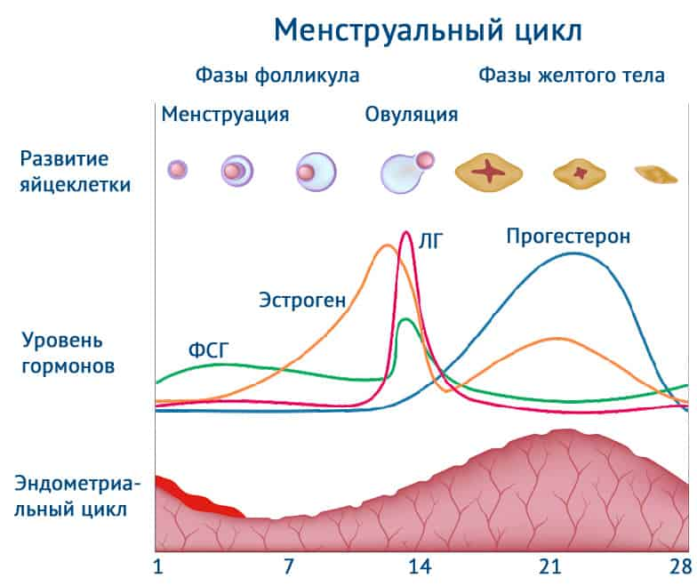 фазы менструального цикла, овуляция