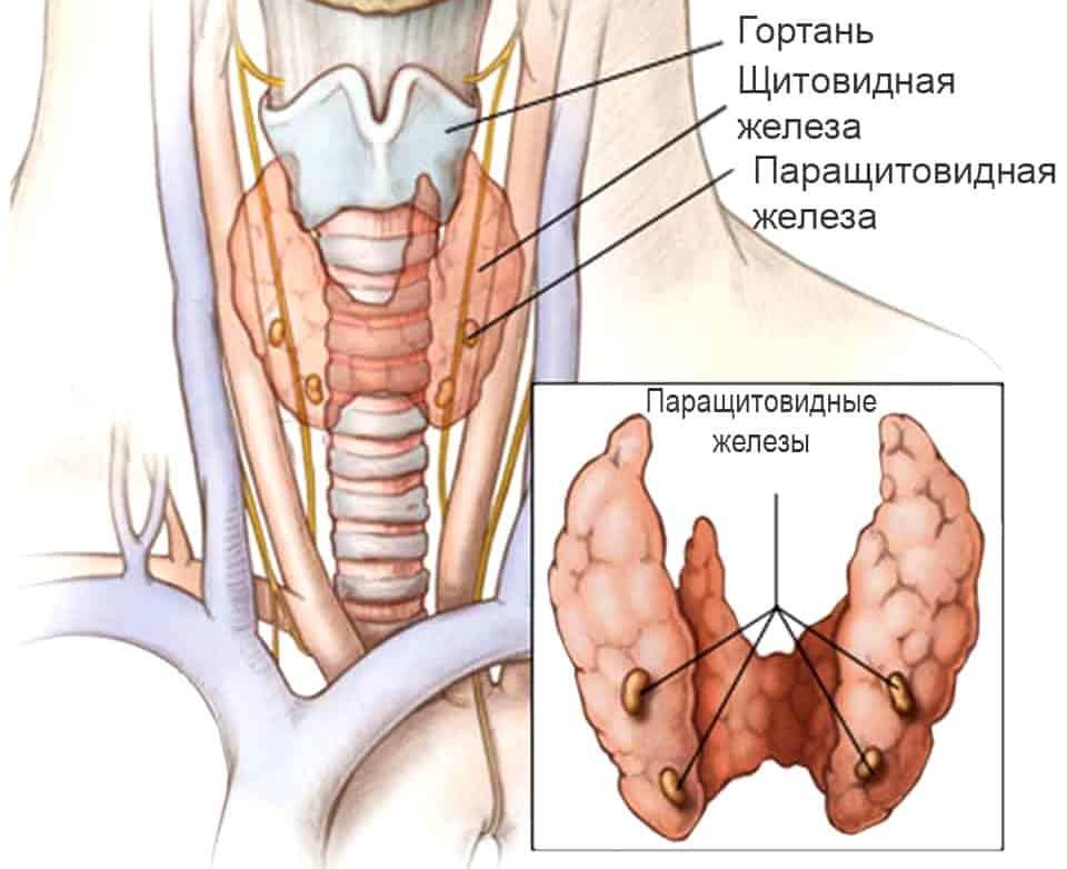 гормоны околощитовидной железы