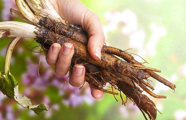Польза и вред корня лопуха