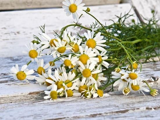 Цветки ромашки - лучшая сосудорасширяющая трава