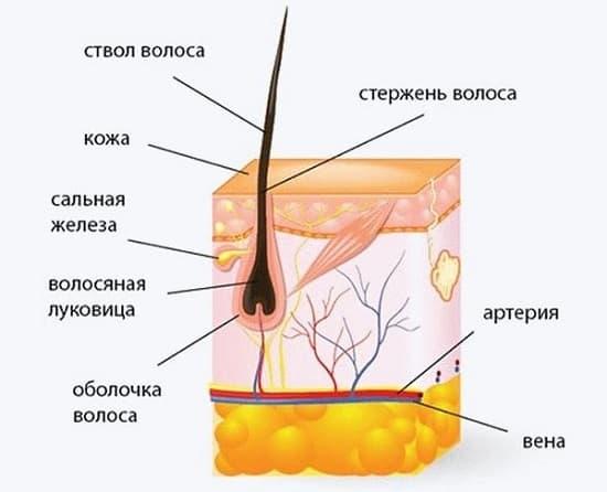 выпадение волос с луковицей