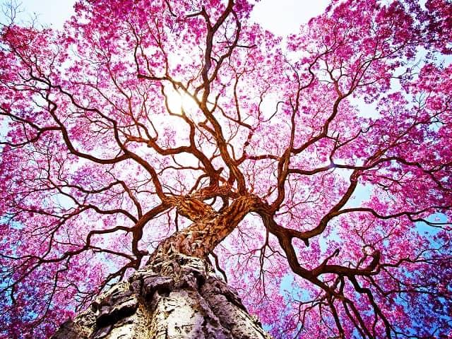кора муравьиного дерева полезные свойства
