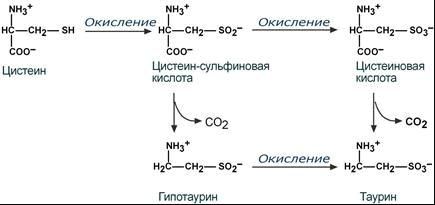 Обмен серосодержащей аминокислоты цистеина