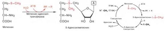 Обмен метионина