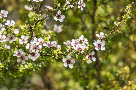 Манука – мед особого сорта чайного дерева
