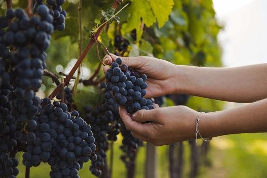 Виноград изабелла польза